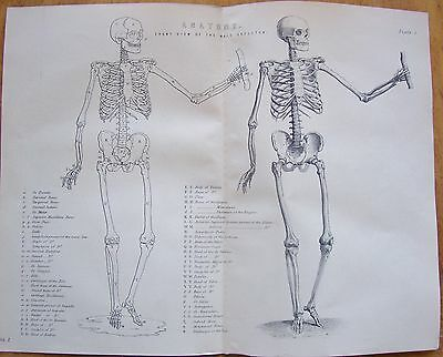 1880 Anatomy Print -Front view of the Male Skeleton