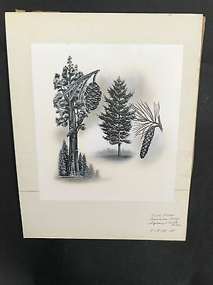 Production Artwork - Sequoia and White Pine Trees