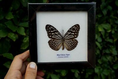 Collectible Taxidermy Real 1 Butterfly Insect Display in Wood Frame Gift Glassy