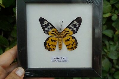 Collectible Taxidermy Real 1 Butterfly Insect Display in Wood Frame Gift Zigzag