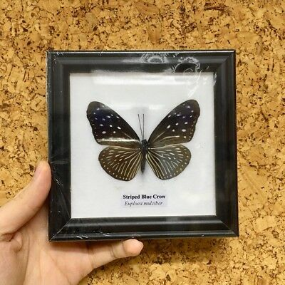 Collectible Taxidermy Real 1 Butterfly Insect Display in Wood Frame Gift Striped