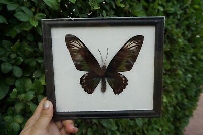 Real Rajah Brookiana Butterfly Display insect Taxidermy in Frame Gift Collect