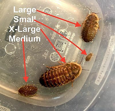 Dubia Feeder Roaches, Small, Medium and Large: Arrive Alive Guarantee