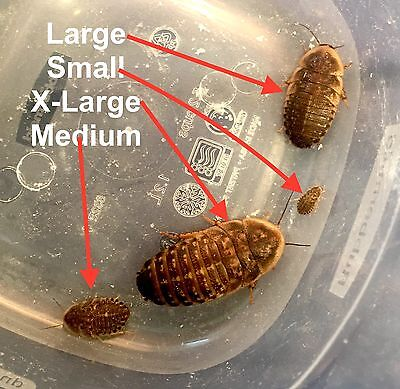 Dubia Feeder Roaches, Small, Medium and Large or Roach Chow