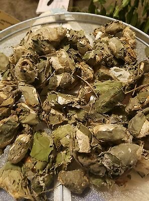 Lot Of 90 luna moth COCOONS  Already Hatched silkmoth silk EMPTY saturniidae