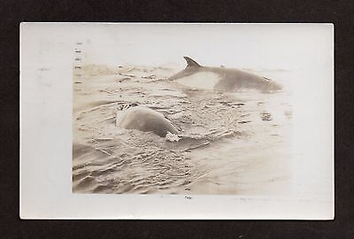 LITTLE AMERICA Orca Whales Antarctica RICHARD BYRD 1934 Expedition II RPPC
