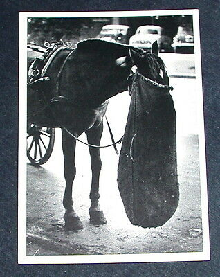 Horse With Head In Nosebag In Street Vintage Black And White Postcard Unused