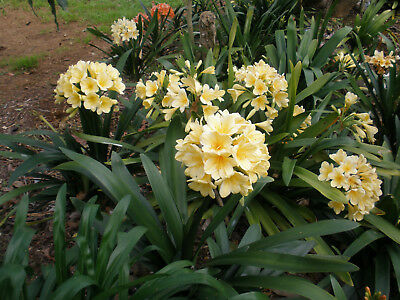 shade loving yellow clivias in flower
