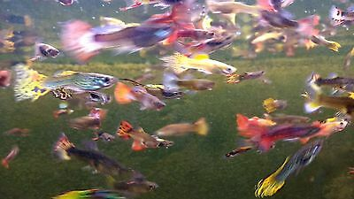 Guppies Endlers VARIOUS COLOURS