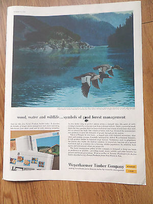 1959 Weyerhaeuser Timber Ad  American Mergansers   Ducks