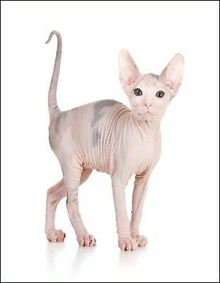 Metal Magnet Hairless Sphinx Cat Tan Gray White Background Cats