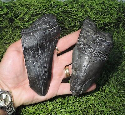 Lot Of 2 Partial Megalodon Fossil Sharks Teeth / Tooth