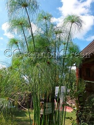 Cyperus papyrus - Egyptian papyrus - 100+ seeds - decorative plant - rare
