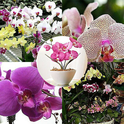 10pcs Mixed Color Phalaenopsis Flower Seeds Butterfly Orchid Bonsai Plants