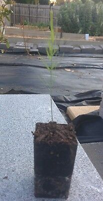 asparagus seedlings in a pot (4 plants)