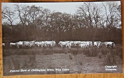 Famous Herd Of Chillingham White Wild Cattle England Real Photo Postcard