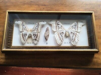 Vintage Attacus atlas Moth Mounted,Male,Cocoon,Female