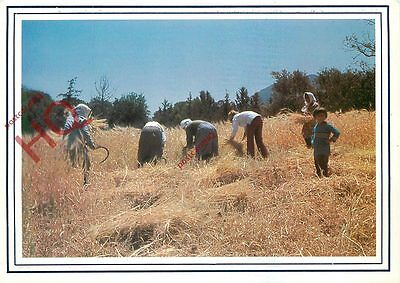 Picture Postcard:;Cyprus, Harvest In June