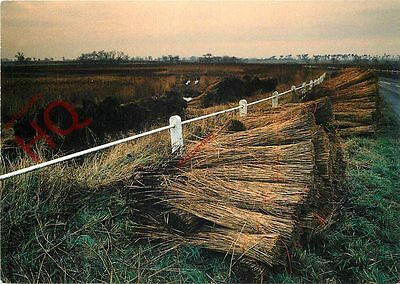 Picture Postcard-:Blythburgh, Reed Bundles