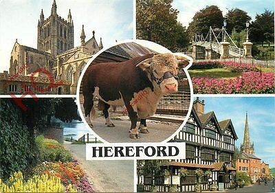 Picture Postcard--Hereford (Multiview) Cow