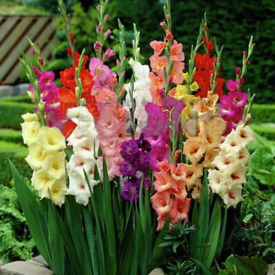2pcs Mixed Colors Gladiolus Jumbo Flower Bulbs Perennials Summer Plant Seeds