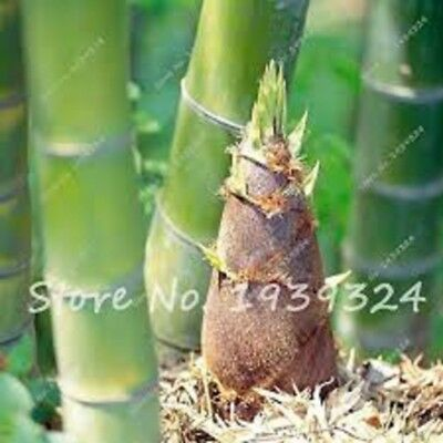 100pcs Bamboo Seeds Giant Moso Bamboo Seeds ship 25-45day-