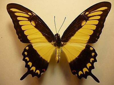 Real Dried Insect/Butterfly/Moth Non-Set..Large Papilio lycophron phanias Peru