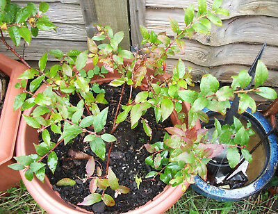 Large Blueberry plant, bush - bears fruit two times a year!