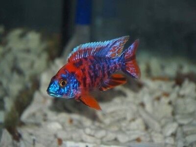 african cichlid available