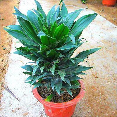 Lucky Bamboo Plant Arrangement 50seed ship 25-45 day