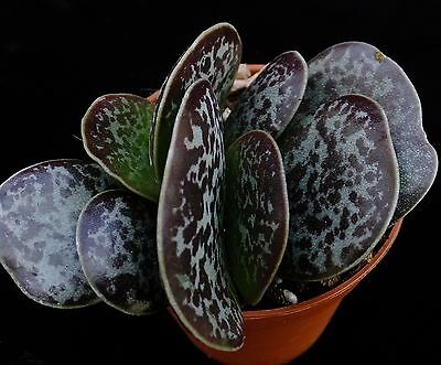 ADROMISCHUS TRIGYNUS  5cm superbly patterned flat leaved South African succulent