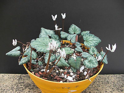 Cyclamen Balearicum Scented Pure White Flowers Qty *100* Seeds