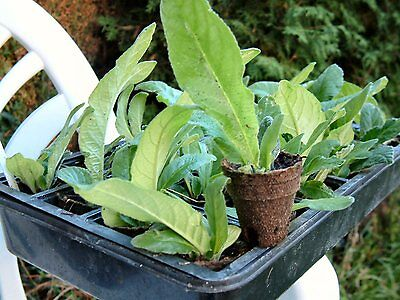 Streptocarpus Plug plants - DS Vaieties N to Y