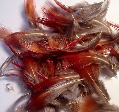 50 Golden Pheasant Breast Feathers.