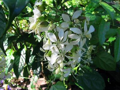 Clerodendron nutans/wallichii 10 Seed Glory Bower White veil