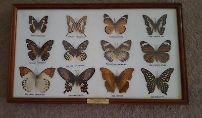 Beautiful 12 mounted real butterflies wood framed display