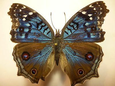 Real Dried Insect/Moth/Butterfly Non Set Bright Blue Precis rhadama 4.5 cm