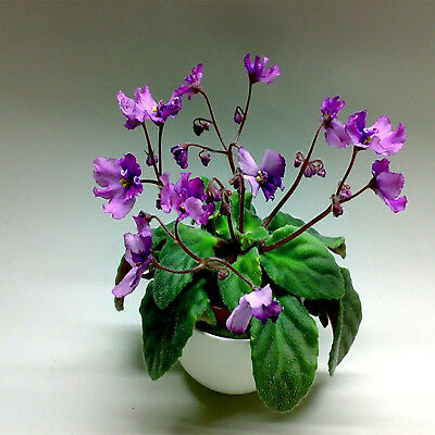 ☘️ F90 Pair Of Luverly Wasp African Violet Leaves ☘️
