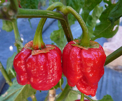 "20 Graines Piment ""SCOTCH BONNET RED"" - !!Brulant!!- Frais de port Unique !!"