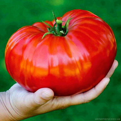 "Rare Organic Vegetable Tomato seeds ""Russian Hero"" Giant. 50 Seeds"