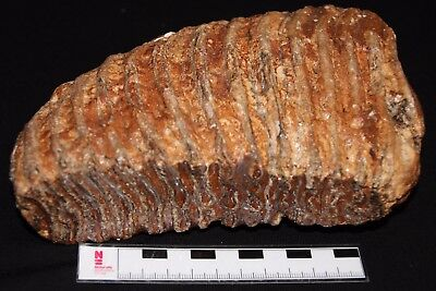 beautiful  Woolly Mammoth  tooth