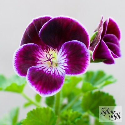 Black Knight Regal Pelargonium Plant - Geranium Rich Purple