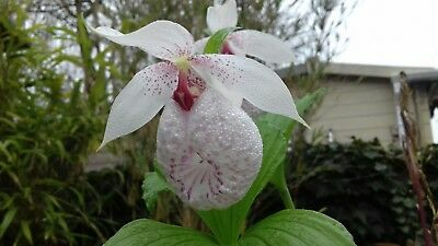 Cypripedium orchid formosanum   large FS