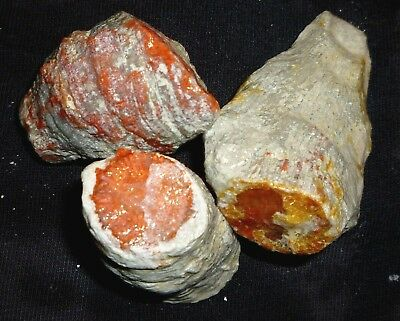 3 Gemmy Rare Fully Agatized Fossilized Red Horn Coral From Utah To Slab & Cab