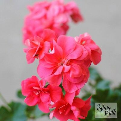 Apricot Ivy Pelargonium Plant - Ivy Geranium Orange Pink Flowers Rooted Cutting