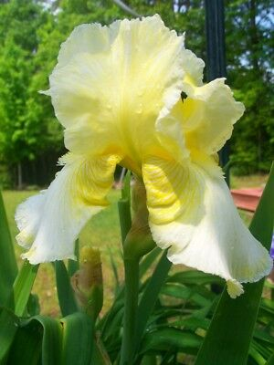 Perennials yellow (1) Iris rhizome root plant bulb easy maintenance and hardy
