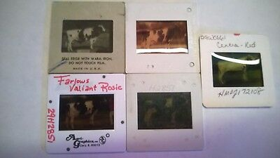 LOT OF (65) 1970s-80s ABS & CURTISS HOLSTEIN & COLOR BREED SIRE PICTURE SLIDES