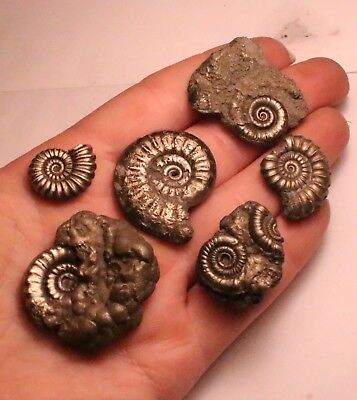 Brilliant Group of 6 iron pyrite ammonite fossils - from the Jurassic Coast N69