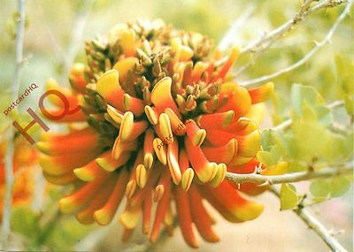 Picture Postcard:-Bloemfontein, Erythrina Canthocarpa, Flowers