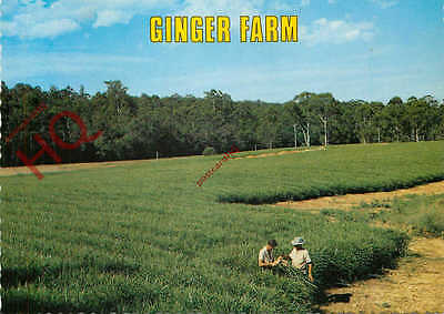 Picture Postcard--Queensland, Ginger Farm